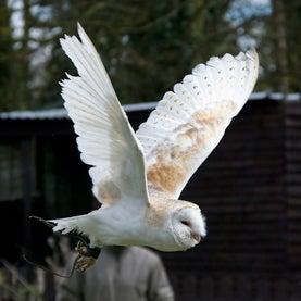 """""""Super-Toxic"""" Rat Poison Kills Owls"""