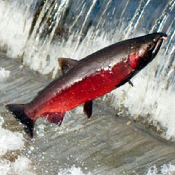Run Down: Dams, Pollution Reduce West Coast Salmon Numbers