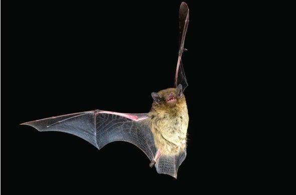Echolocation Drains Bats Traveling through Noise