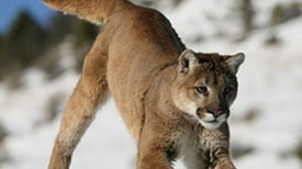 Should You Run or Freeze When You See a Mountain Lion?