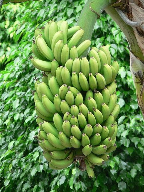 """""""Super Bananas"""" Enter U.S. Market Trials"""