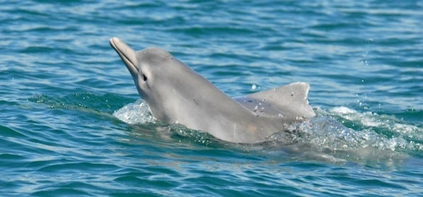 New Species of Humpback Dolphin Proposed