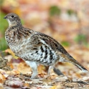 Ruffed Grouse Drumming Survey