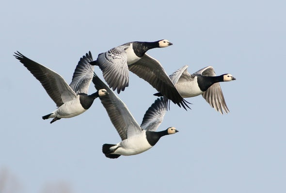 As Spring Arrives Earlier, Arctic Geese Speed Up Their Migration