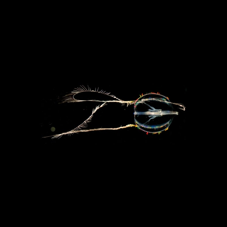 Comb Jelly Genome Grows More Mysterious