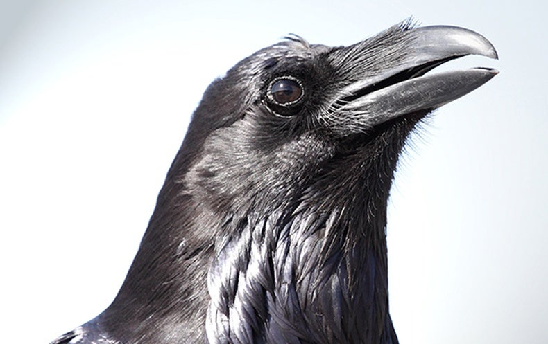 Nevermore Or Tomorrow Ravens Can Plan Ahead Scientific American - Bird map of the us crows