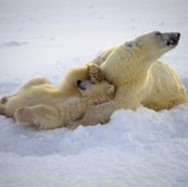 POLAR BEAR WITH CUBS: