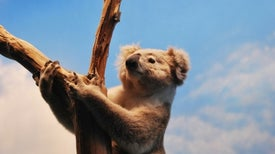 Treating Koala STDs May also Quash Their Essential Gut Microbes