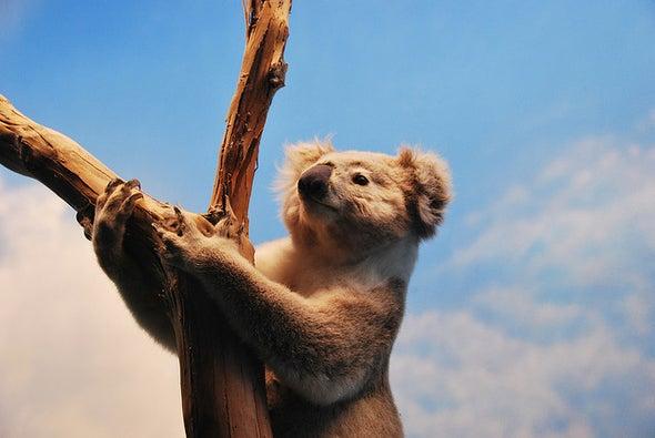 Treating Koala STDs May also Quash Their Essential Gut Microbes