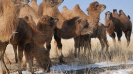 Camel Genome Holds Desert Survival Secrets
