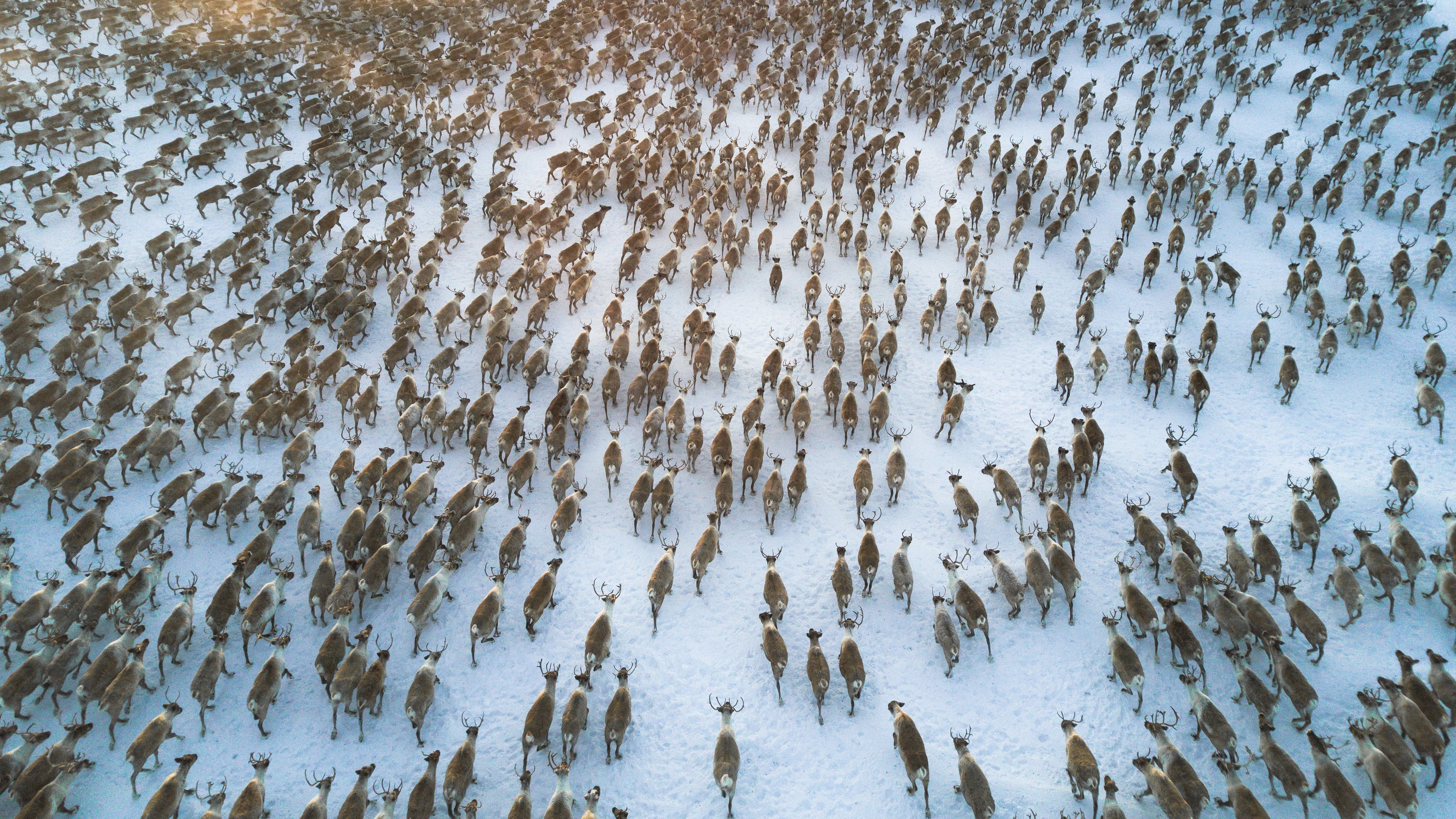 Packing the Tundra with Animals Could Slow Arctic Melt