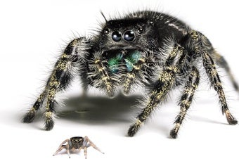 Baby Jumping Spiders See Surprisingly Well