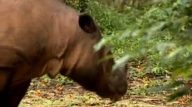 Conservationists Rejoice at Endangered Rhino Footage