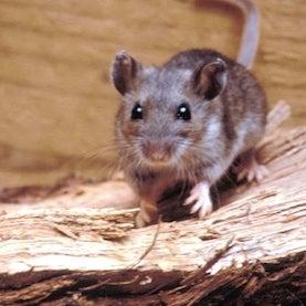deer mouse hantavirus outbreak