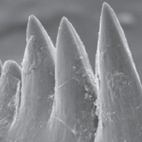Jawless Vertebrate Had World's Sharpest Teeth