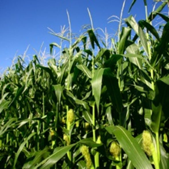 Race to Introduce Genetically Modified Maize to Stave Off Climate Change Impacts in Africa