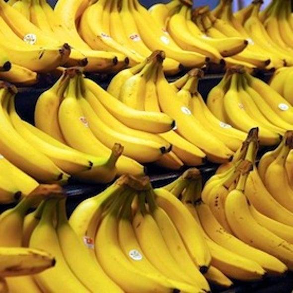 Banana Fungus Creeps Closer to World's Key Plantations