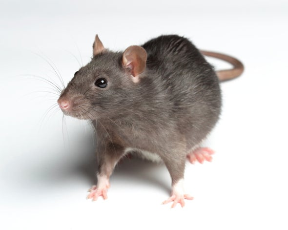 Rats Experience Feelings of Regret