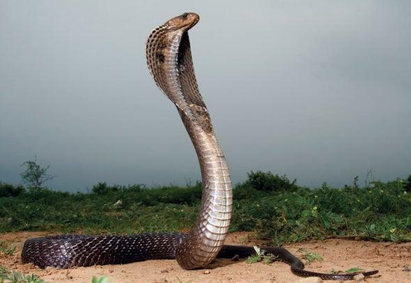 Snakebite Antivenom Development Is Stuck in the 19th Century--What's Next?