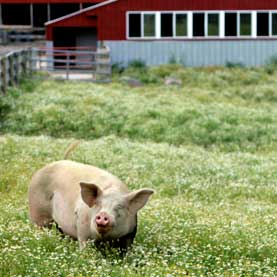 A rescued pig lives out his life in peace at Farm Sanctuary