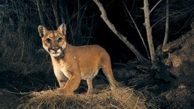 World's Largest Wildlife Bridge Could Save Mountain Lions
