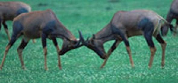 Female Antelopes Fight for Fine Mates