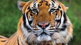 Study Reveals Loss of Laos's Final Tigers
