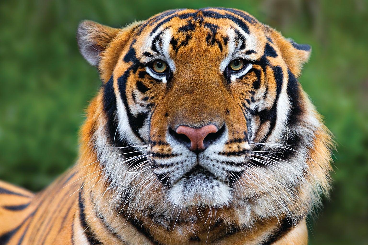 Harimau di Indonesia merupakan hewan yang sangat langka