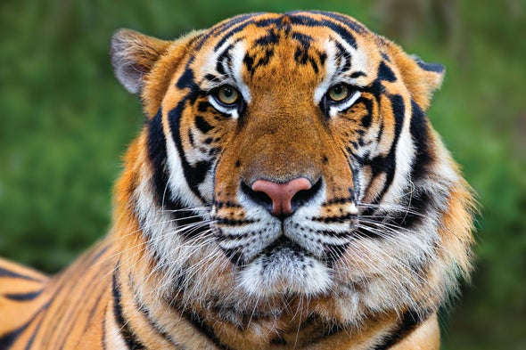 Study Reveals Loss of Laos's Final Tigers - Scientific American