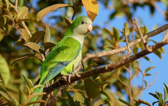 Parakeet Invasion of Mexico Driven by Europe's Ban on Bird Imports