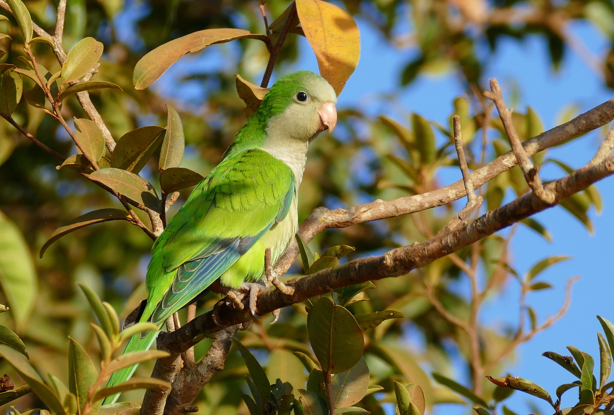 Parakeet Invasion Of Mexico Driven By Europe S Ban On Bird Imports Scientific American