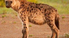 Hyena Society Stability Has Last Laugh