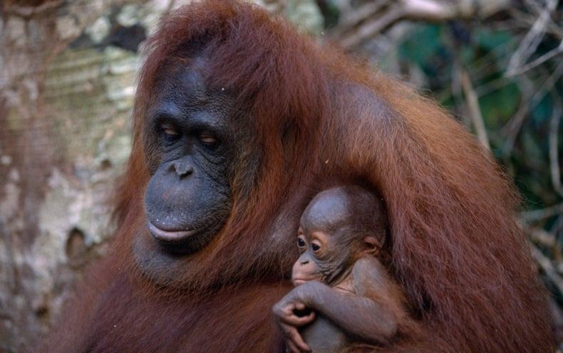 Can Oil Palm Plantations and Orangutans Coexist?