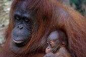 Can Oil Palm Plantations and Orangutans Coexist?