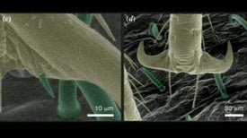 Plant Surface Inspires Trap for Bedbugs