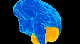 "The Cerebellum Is Your ""Little Brain""--and It Does Some Pretty Big Things"