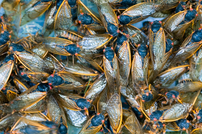 <p>Noisy Cicadas Are Emerging Earlier thumbnail