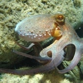 CEPHALOPOD SEEING: