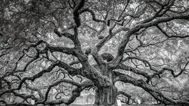 How Oak Trees Evolved to Rule the Forests of the Northern Hemisphere