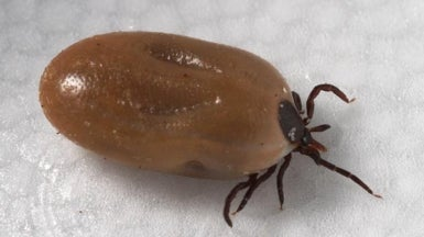 Something to Grapple with: How Wily Lyme Disease Prowls the Body