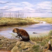 Invading Beavers Turn Tundra to Ponds
