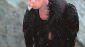 Plight of the Condors
