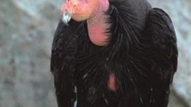Plight of the Condors
