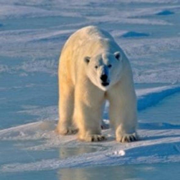 Melting Sea Ice Complicates Polar Bear Habitat Protection?