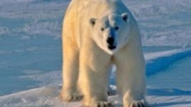 Melting Sea Ice Complicates Polar Bear Habitat Protection?