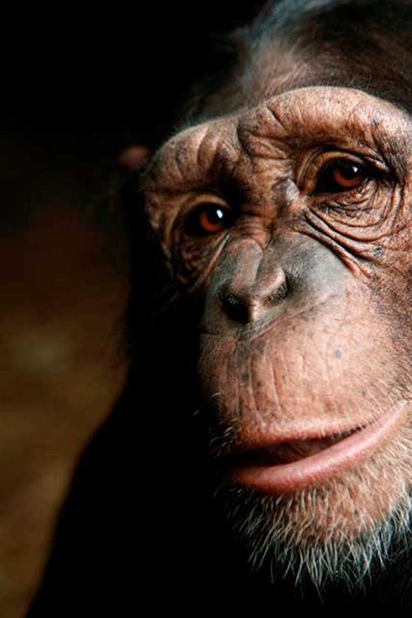 NIH to Retire All Research Chimpanzees