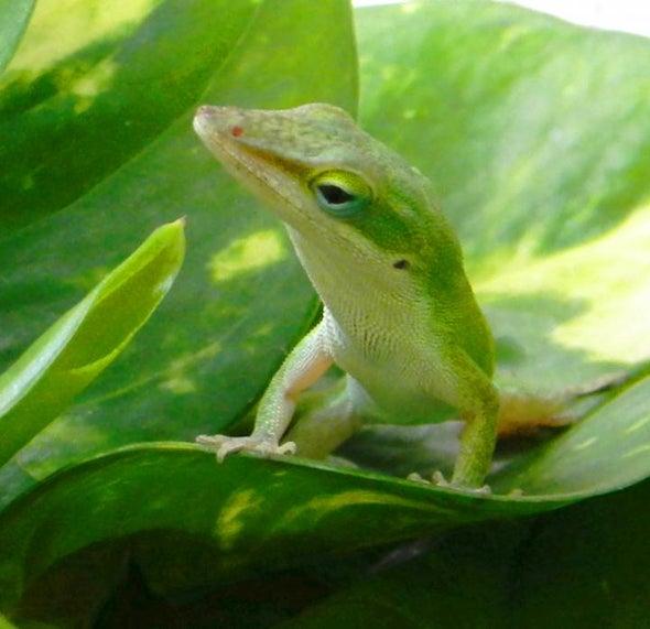 Cold Snap Shapes Lizard Survivors