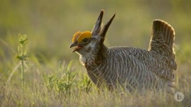 Lesser Prairie Chickens Show Greater Dance Moves in the Spring