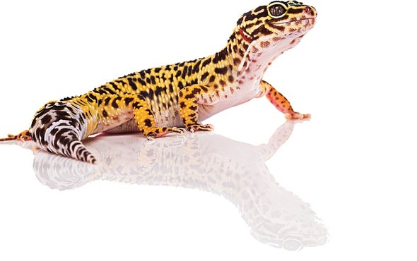 Lizards Learn a Silly Walk after Losing Their Tails