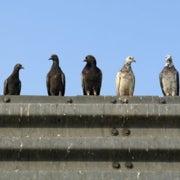 Are Urban Vermin the Most Disease-Ridden Animals?